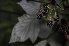 Растущее blackberry& x27; s в саде, листьях и ветвях Стоковая Фотография