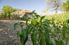 Растущие био овощи Стоковое Фото