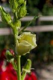 Растущие био овощи Стоковые Изображения RF