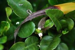 Растущие бутоны известки Kaffir с цветками Стоковое фото RF