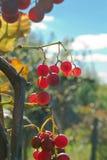 Растущие ветви виноградин красного вина Закройте вверх по взгляду свежей красной виноградины Естественное виноградное вино стоковое изображение rf