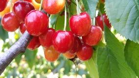 Растущие вишни в саде мамы Стоковая Фотография RF