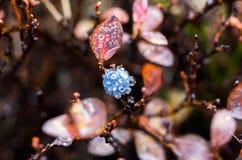 Растущие голубики в природе Сырцовые голубики Роса на голубике Ягоды полезные для визирования Стоковые Изображения