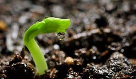 Растущие горохи стоковая фотография rf