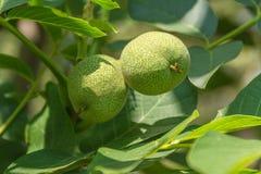 растущие грецкие орехи вала Стоковые Изображения RF