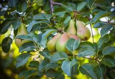 Растущие груши на дереве Стоковая Фотография RF