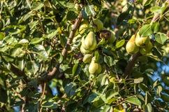 Растущие груши на дереве Стоковые Фотографии RF