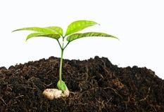 Растущие заводы от семени Стоковые Изображения