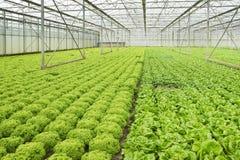 Растущие заводы салата в парнике стоковые изображения rf