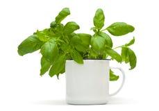 Растущие заводы сладостного базилика в эмали mug стоковая фотография