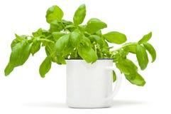 Растущие заводы сладостного базилика в эмали mug стоковые изображения rf