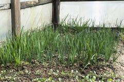 Растущие зеленые луки в парнике Стоковое Изображение