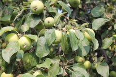 Растущие зеленые яблоки Стоковые Изображения