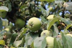 Растущие зеленые яблоки Стоковое Изображение RF