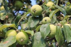 Растущие зеленые яблоки Стоковая Фотография RF