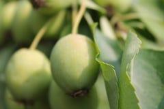 Растущие зеленые яблоки Стоковые Фотографии RF