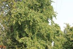 Растущие зеленые яблоки Стоковое Изображение