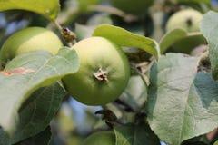 Растущие зеленые яблоки Стоковая Фотография