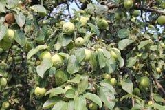 Растущие зеленые яблоки Стоковое фото RF
