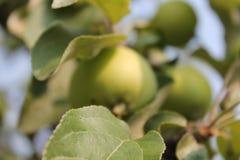 Растущие зеленые яблоки Стоковое Фото