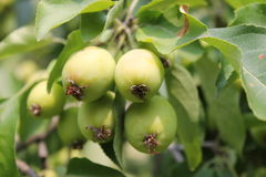 Растущие зеленые яблоки Стоковые Изображения RF
