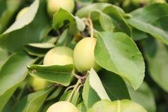 Растущие зеленые яблоки Стоковые Фото