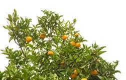 Растущие изолированные апельсины Стоковые Изображения RF