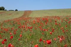 растущие маки красные Стоковое Фото