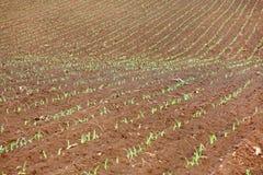 Растущие молодые ростки саженца зеленой мозоли в культивируемом аграрном поле фермы Стоковое Изображение RF