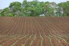 Растущие молодые ростки саженца зеленой мозоли в культивируемом аграрном поле фермы Стоковые Фотографии RF