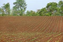 Растущие молодые ростки саженца зеленой мозоли в культивируемом аграрном поле фермы Стоковое фото RF