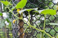 Растущие огурцы Стоковые Фото
