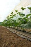 Растущие огурцы Стоковая Фотография RF