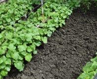 Растущие органические овощи Стоковая Фотография RF