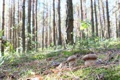 Растущие пары белых грибов Стоковая Фотография
