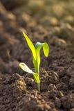 Растущие ростки саженца мозоли в аграрном поле фермы Стоковая Фотография