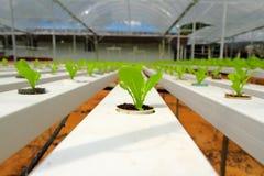 растущие рядки салата Стоковые Фото