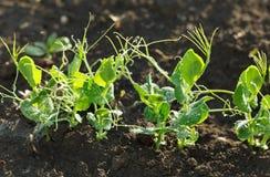 Растущие саженцы гороха Стоковое Фото