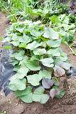 Растущие сладостные potatos на ферме Стоковое Изображение RF