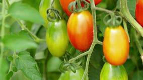 Растущие томаты закрывают вверх сток-видео