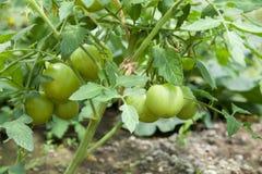 Растущие томаты Стоковая Фотография
