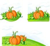 растущие тыквы Стоковые Изображения RF