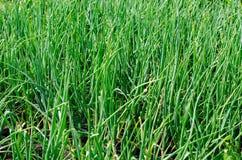 Растущие луки Стоковое фото RF