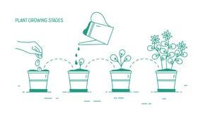 Растущие участки в горшке завода - осеменяющ, прорастание, мочить саженцев, зацветая Нарисованный жизненный цикл комнатного расте иллюстрация штока