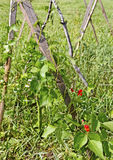 Растущие фасоли. Стоковые Изображения RF