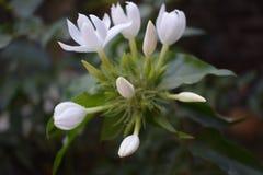 Растущие цветки которые будут использованы в фестивале Стоковое Изображение RF