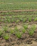 Растущие шалоты в поле Стоковые Фотографии RF