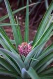растущий ананас Стоковые Изображения RF