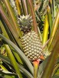 растущий ананас Стоковая Фотография RF