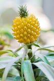 растущий ананас Стоковое Изображение